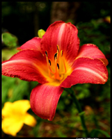 Red Lily      ~F2