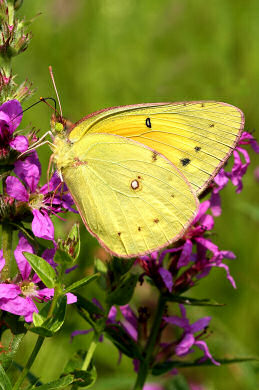 A Sulphur Butterfly stops for lunch at Dingmans Ferry Campground in PA